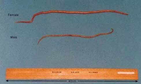 拉布拉多通常有哪些寄生蟲 - 每日頭條