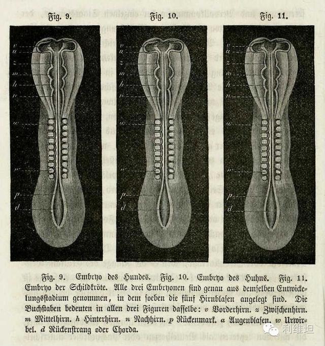 科學史上極具爭議的胚胎學圖片 - 每日頭條