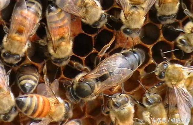 要想蜜蜂養得好。蜂王的品質是關鍵 - 每日頭條