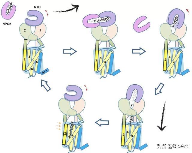 Cell   顏寧/楊洪遠合作團隊解析膽固醇進入細胞的分子機制 - 每日頭條