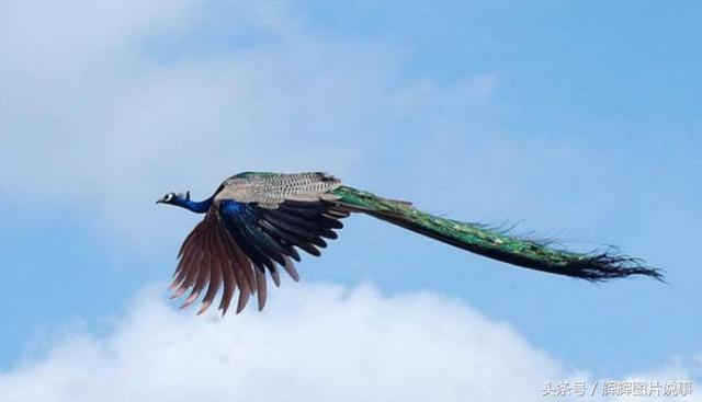 美麗的百鳥之王-孔雀及孔雀文化(下) - 每日頭條