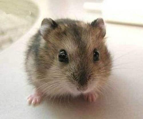 倉鼠種類-三線類倉鼠-侏儒 - 每日頭條
