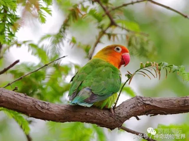 牡丹鸚鵡飼養及雌雄鑑別資料 - 每日頭條