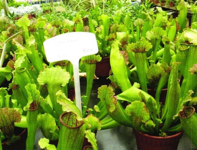 瓶子草盆景繁殖及病蟲害防治栽培技術 - 每日頭條