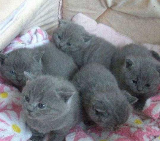 藍貓生了5隻小藍貓,家人看到其中一隻笑了:哪來的戲精! - 每日頭條
