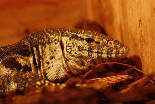 尼羅河巨蜥飼養好方法,最好從小養,不建議新手飼養 - 每日頭條