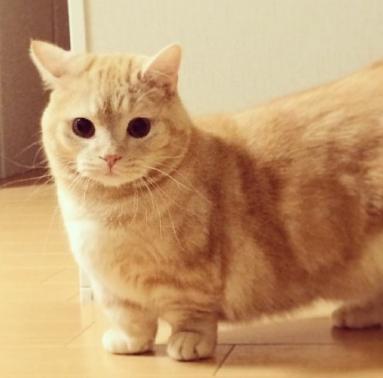 每日一讀:貓咪品種——短腿貓 - 每日頭條