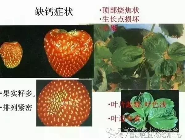 各種作物缺鈣圖譜大全 - 每日頭條