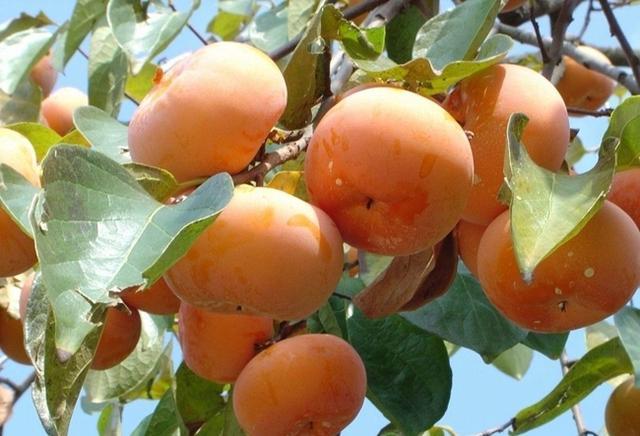 柿樹栽培技術|甜柿主要品種介紹 - 每日頭條