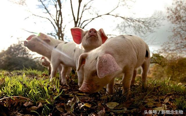 高產母豬飼料應該這麼調。原來4大營養物質還有這些作用! - 每日頭條