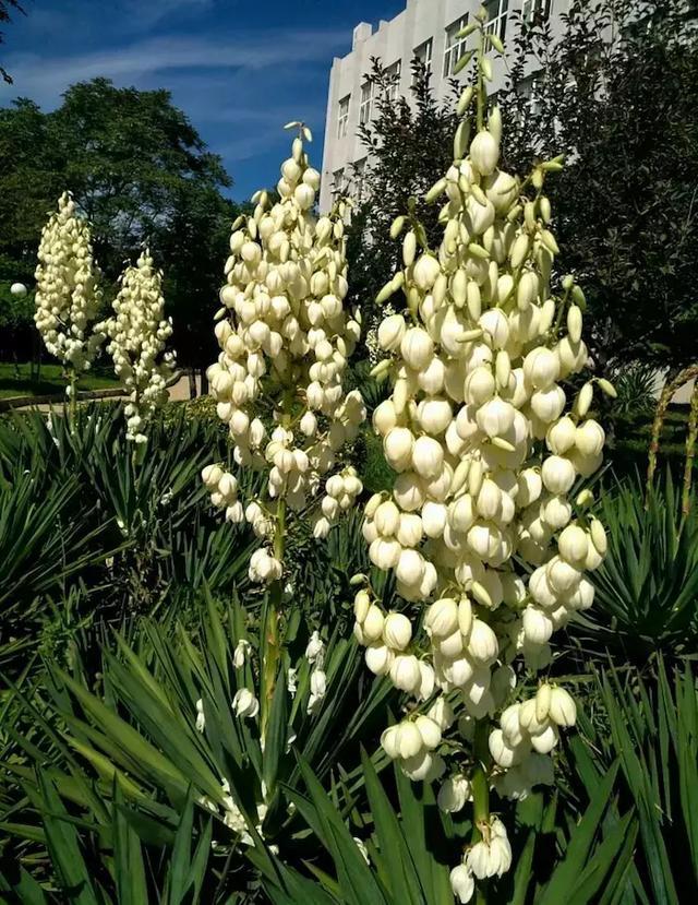 植物百科: 鳳尾絲蘭 - 每日頭條