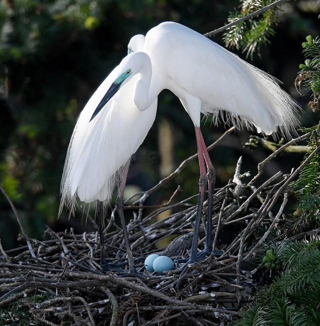 鄱陽湖畔白鷺進入孵化繁殖期 - 每日頭條