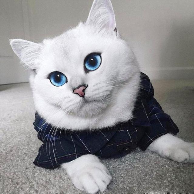 我們經常看到的英國短毛貓,你知道白色的有哪幾種嗎? - 每日頭條