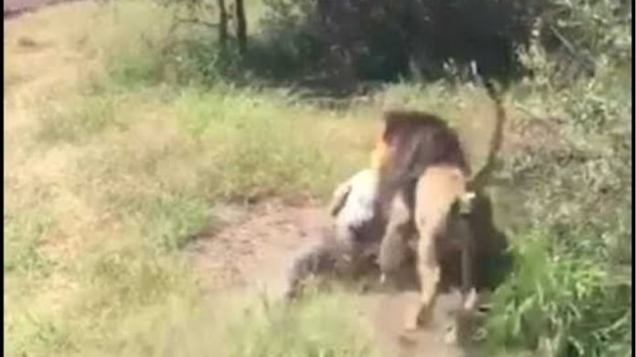 Terrifying moment lion savagely attacks an elderly man