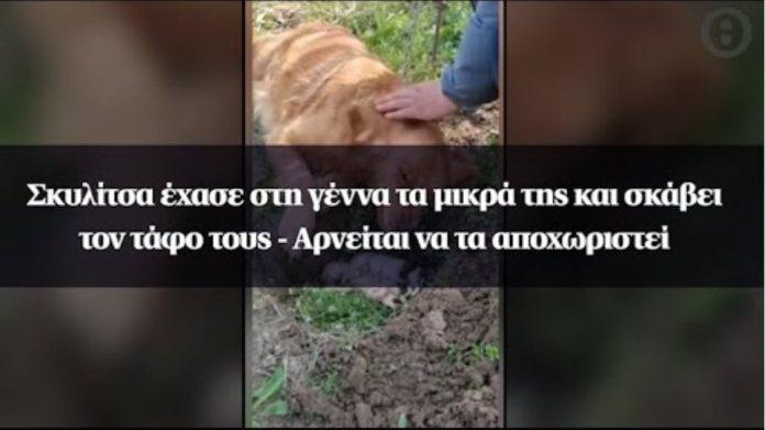 Σκυλίτσα έχασε στη γέννα τα μικρά της και σκάβει τον τάφο τους - Αρνείται να τα αποχωριστεί