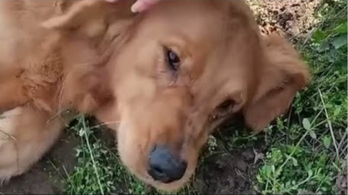 Heartbroken dog refuses to let go of puppies who died in labour