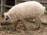 porco pele de cordeiro cobre