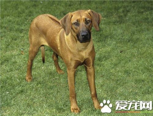 哪有賣羅得西亞脊背犬 寵物市場就可以買得到 - 壹讀