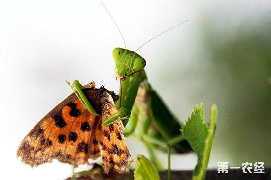螳螂吃什麼食物? - 壹讀