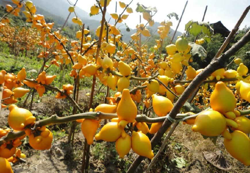 二爺爺養的盆栽。如今結出五指果。街上賣5元一個 - 壹讀