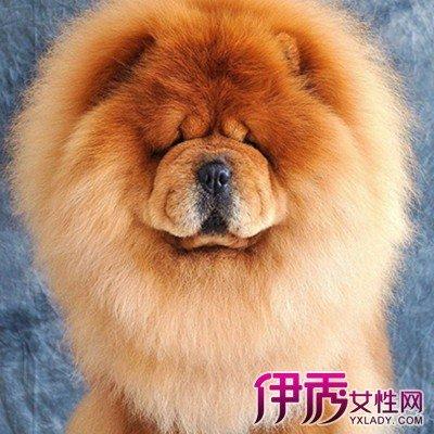 松獅犬是不是舌頭越黑品種越好呢 讓你了解松獅犬 - 壹讀