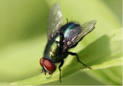 蒼蠅的壽命.如何防止蒼蠅 - 壹讀