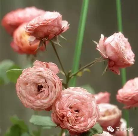 有些月季品種比玫瑰更加高貴、美艷!不信?來看看! - 壹讀