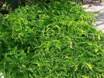 雞骨草的功效與作用 雞骨草有哪些作用 - 壹讀