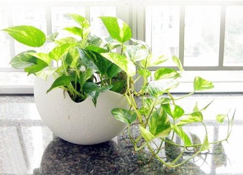 家庭養殖盆栽 - 室內怎樣種植綠蘿 - 壹讀