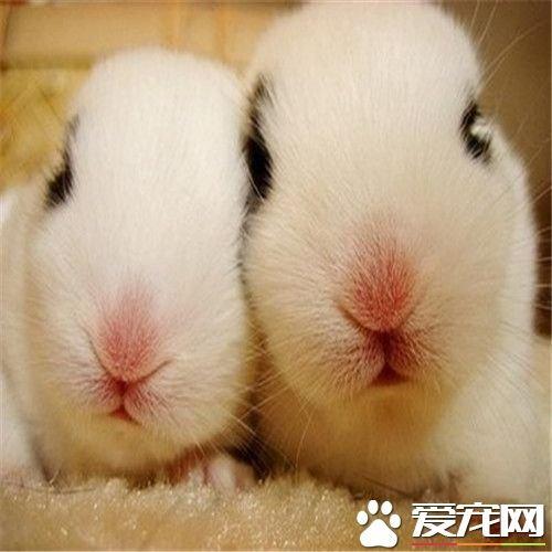 兔子打噴嚏是怎麼回事 兔子打噴嚏的原因 - 壹讀
