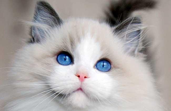 布偶貓多少錢一隻? - 壹讀