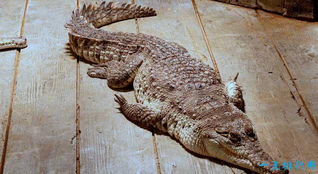 2017年世界上十種最大鱷魚 十分兇殘的鹹水鱷位居第一 - 壹讀