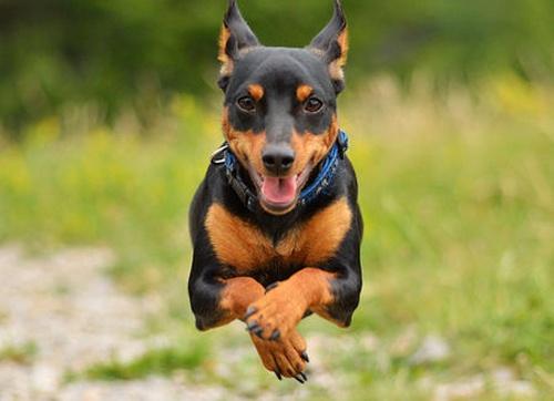 迷你杜賓犬多少錢一隻 全國各地杜賓犬價格表 - 壹讀