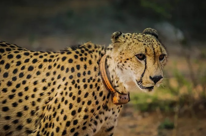 5種名字帶「豹」的貓科動物戰力排行:雪豹僅第3。第1常秒殺鱷魚 - 壹讀