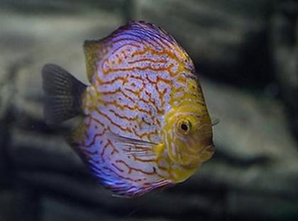 七彩神仙魚能長多大 取決於它的品種 - 壹讀
