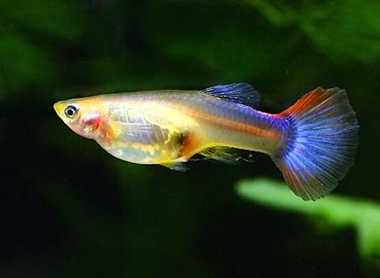 孔雀魚的懷孕周期 周期不是恆定的 - 壹讀