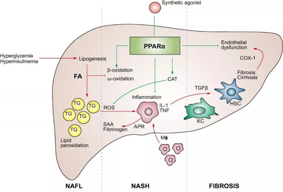 速遞 | 治療非酒精性脂肪性肝炎,PPAR雙重激動劑達到2期終點 - 壹讀