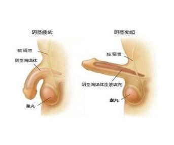 為什麼陰莖會彎曲 陰莖構造 - 壹讀