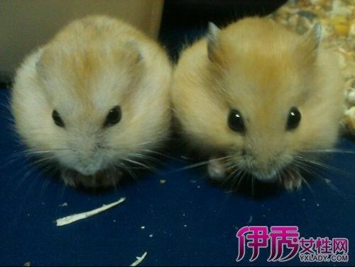 介紹最胖的布丁倉鼠的基本情況 了解習性才能更好的飼養 - 壹讀