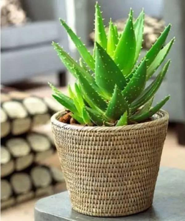 室內養的這11種植物。一直都是家人的最愛 - 壹讀