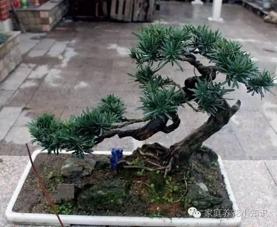 如何製作羅漢松小盆栽:羅漢松小盆栽的製作方法簡介 - 壹讀