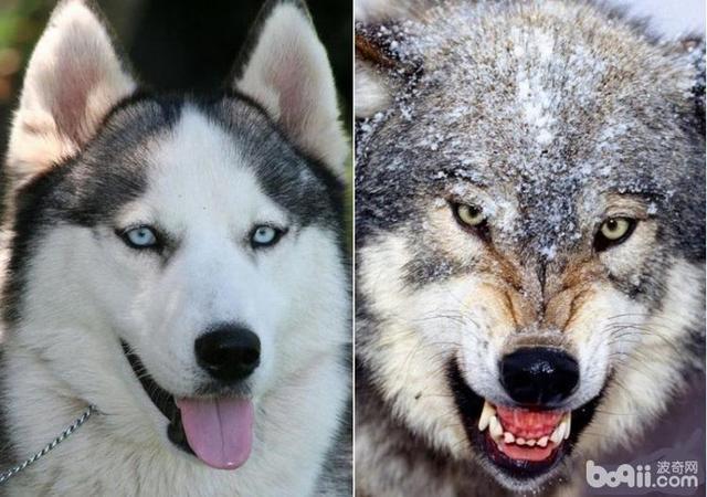 哪種狗和狼最親,是狼狗,哈士奇?這兩個竟然都不是! - 壹讀