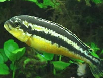 非洲鳳凰魚能長多大 長到10厘米左右 - 壹讀