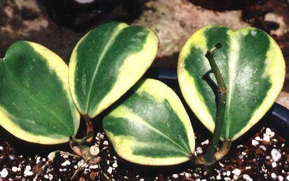 心葉球蘭狀如心形又稱臘蘭,橘盒子,臘花,非常奇特,經常保持土壤濕潤(不要讓土壤乾掉),花語—愛~傳遞開來 - 壹讀