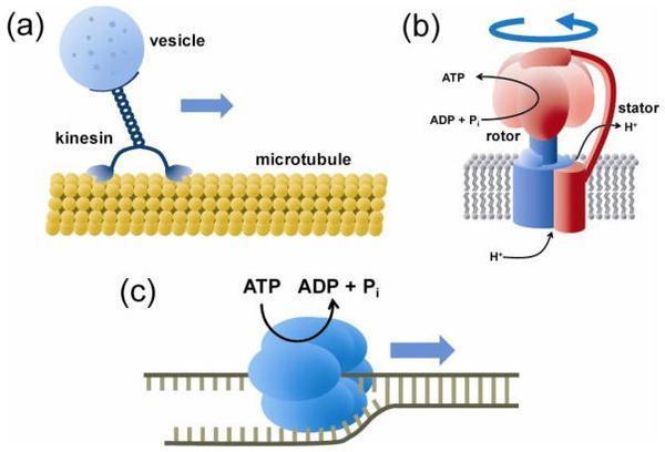 ATP水解後的能量到底是以什麼形式進行利用和轉化的? - 壹讀