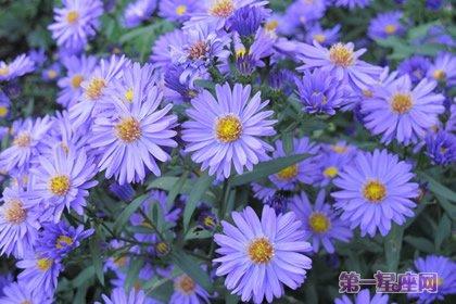 不常見花的花語:紫菀花花語及傳說 - 壹讀
