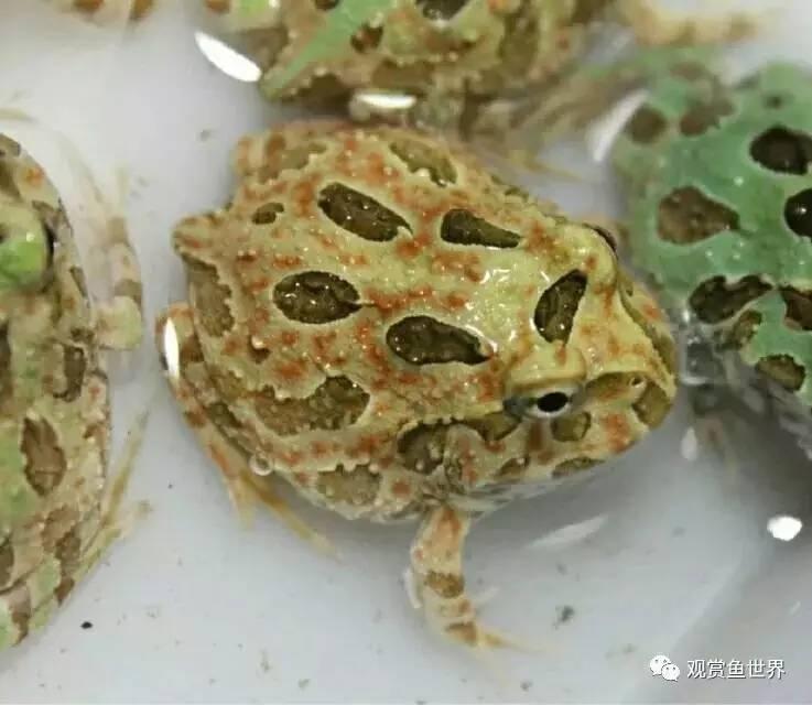 角蛙蝌蚪怎麼玩兒,一般淫兒我不告訴他 - 壹讀
