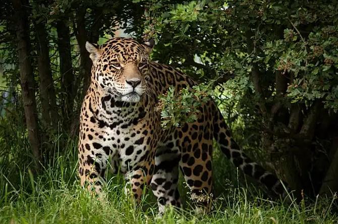 貓科豹屬5種大型貓科動物的別名。你知道多少? - 壹讀
