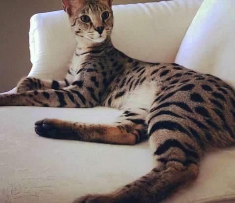 世界上最貴的十種貓。最後一隻曾賣出61萬天價 - 壹讀
