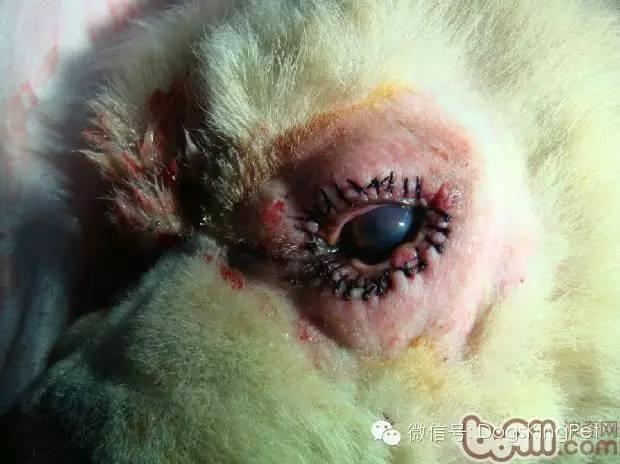 犬的眼病:眼瞼內翻、結膜炎、角膜炎、第三眼瞼腺脫出、白內障、青光眼、眼球脫出 - 壹讀